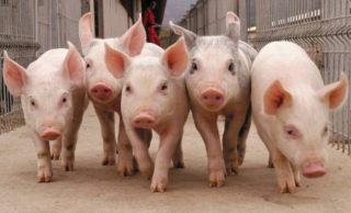 Productores porcinos, en alerta por la importación de carne de cerdo